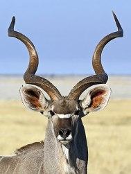 360px-Tragelaphus_strepsiceros_♂_(head).jpg
